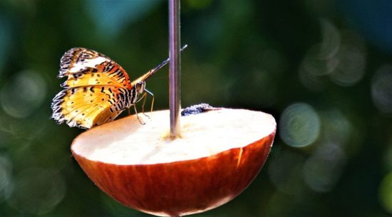 papillon sur une demie pomme