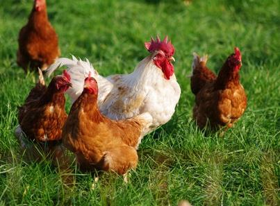Des poules et un coq dans l'herbe