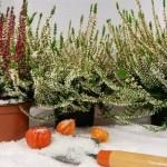 Comment fleurir votre balcon en hiver ?