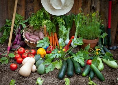 Récolte de légumes.