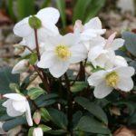 Quelles sont les plantes qui fleurissent en hiver?